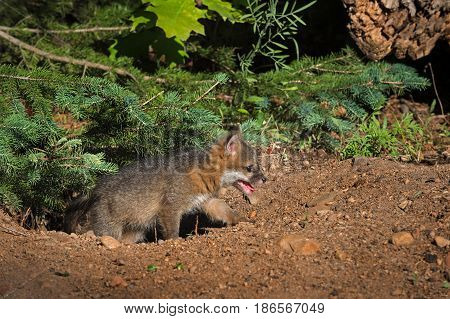 Grey Fox Kit (Urocyon cinereoargenteus) Climbs Out of Hole - captive animal
