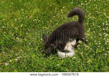 Silver Fox and Marble Fox (Vulpes vulpes) Play in Clover - captive animals