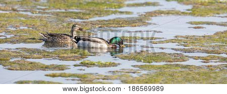 Female (left) and Male (right) Mallards Wading in the Marsh. Santa Clara County, California, USA.