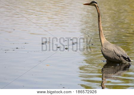 A great blue heron in the water