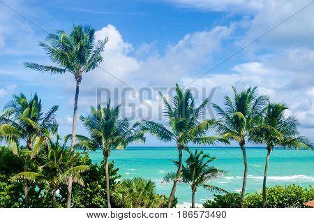 Palm tree on the Miami beach Florida USA