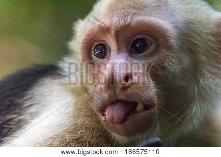 Close up of the face of a capuchin monkey sticking out its tongue in Manuel Antonio National Park in Costa Rica