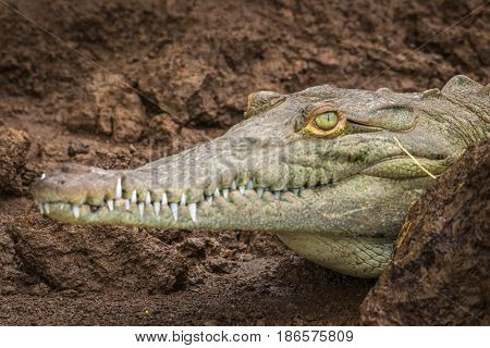 Young green crocodile on the brown muddy edge of the Tarcoles River in Costa Rica