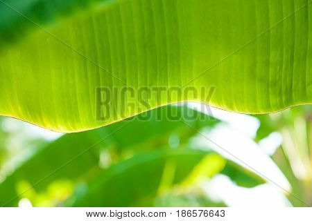 Blur beautiful banana leaves on summer in thailand.