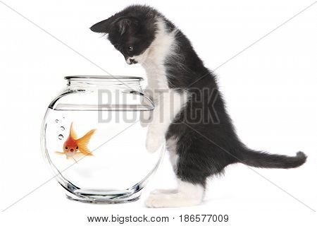 Curious Kitten Looking at Goldfish in a Bowl