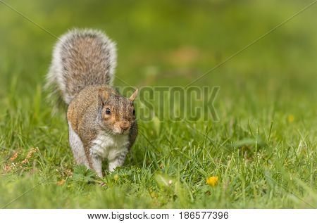 Eastern Gray Squirrel (Sciurus carolinensis) hopping towards camera on a bright day with room for copy on side