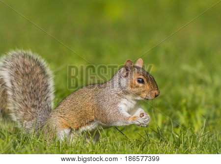 Eastern Gray Squirrel (Sciurus carolinensis) side profile on a bright day