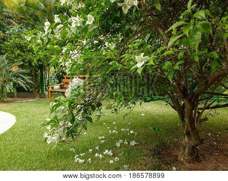 Bougainvillea bush on the lawn, with wooden bench in the background in sunny day