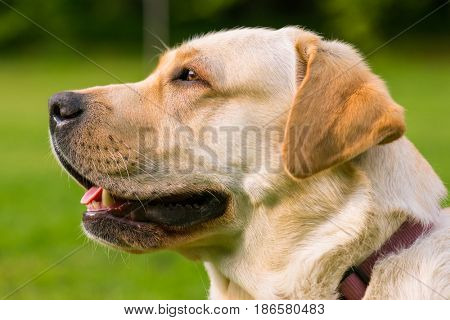 Beautiful dog breed labrador retriever on walk in park. Pet and domestic animal concept.