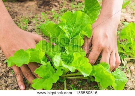 fresh lettuce in gardening man's hands picking lettuce