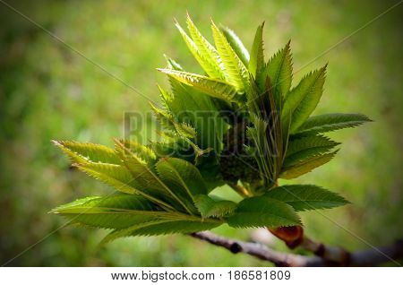 A close up image of young leaves sprouting on a Mountain Ash tree.