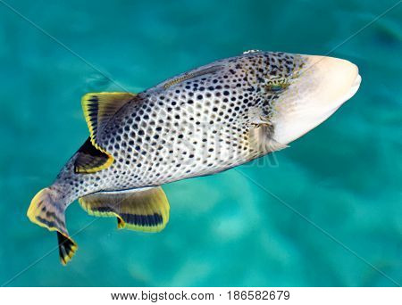 A tropical fish swimming in beautiful blue water.