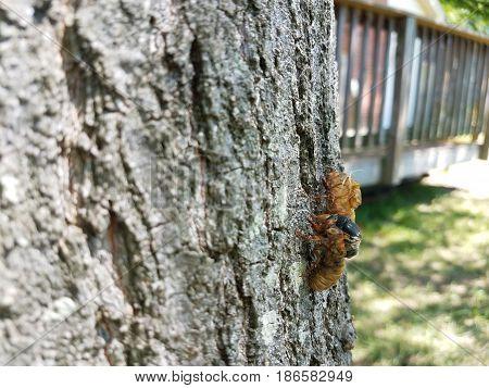 cicadas shedding skin on oak tree trunk in backyard