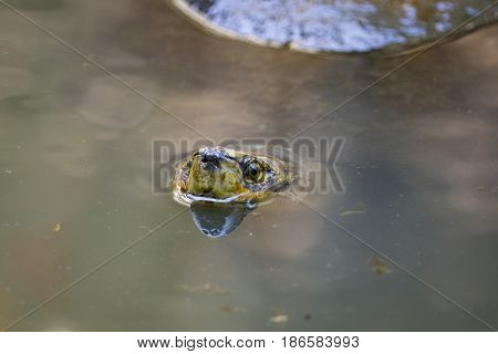 Image of a mud turtle head on water. Amphibians animals.