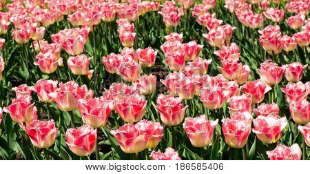 Tulips Everywhere Colorful Garden