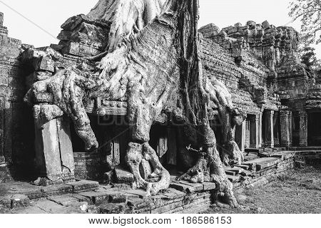 Tree roots covering the ruins of ta prohm temple in Siem Reap Cambodia