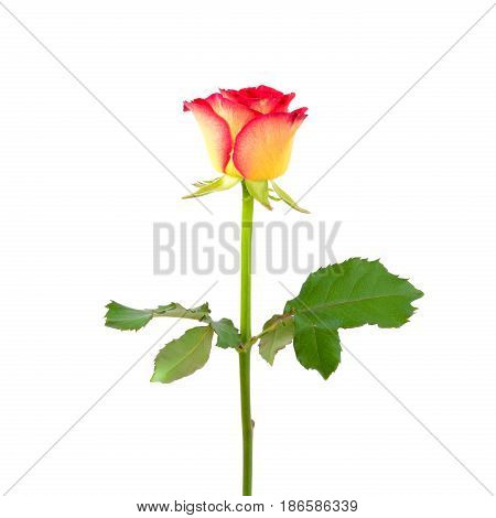 Beautiful single yellow red rose isolated on white background