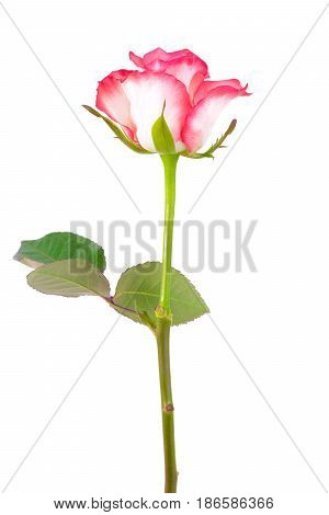 Beautiful single white-pink rose isolated on white background