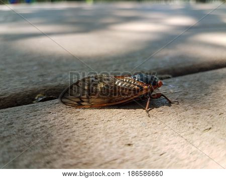 large cicada on brown composite deck closeup