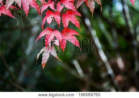 Maple Leaf Branch On Green Dark Background