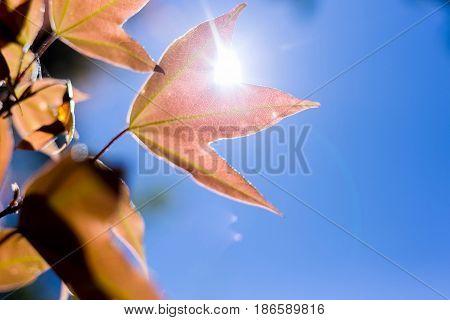 soft focus maple leaf on blue sky background