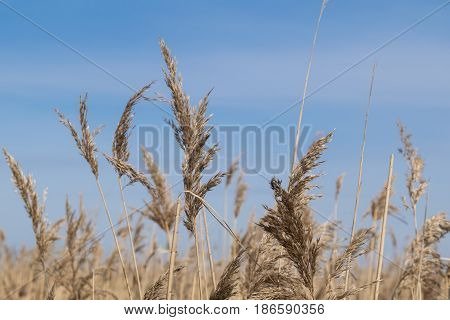 beautiful golden reeds close up on a background of blue sky