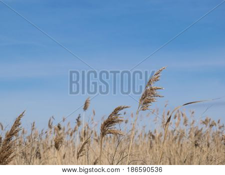 background beautiful calm clear blue sky with reeds from the bottom