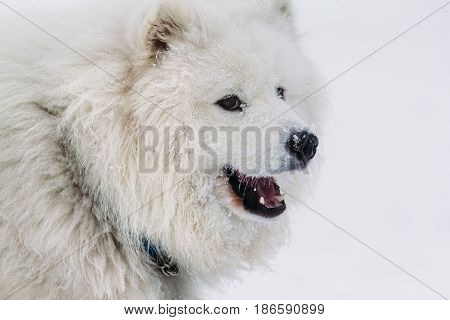 Beautiful portrait of a dog Samoyed on a white background in winter
