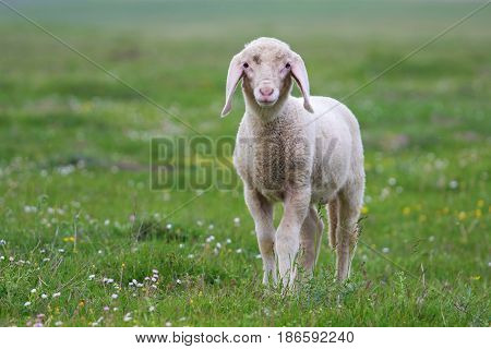 Baby Lamb on the floral field in springtime