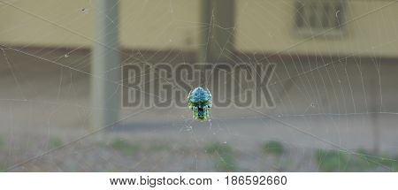 Colorful spider sleeping in its net. Arachnid resting on its web. Blue and green spider