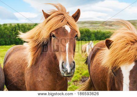 Brown Icelandic Horses In Nature.