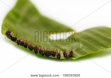 Black Caterpillar Of Common Duffer Butterfly ( Discophota Sondaica Boisduval )