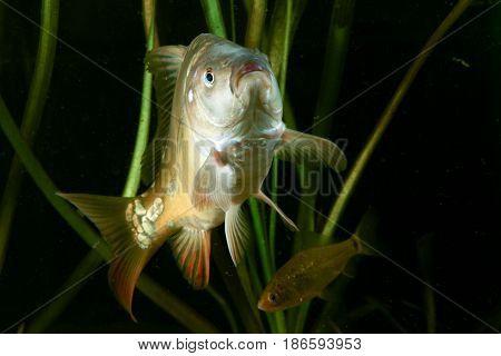 Crucian carp Carassius carassius and Common carp Cyprinus carpio in the pond