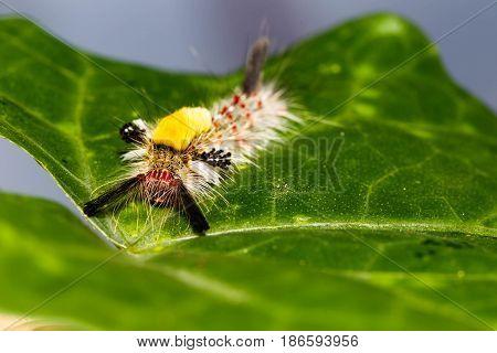Brown Tussock Moth Olene Mendosa