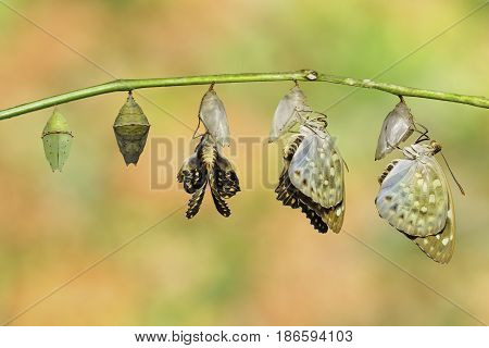 Isolated Common Archduke Buttterfly Emerged From Chrysalis ( Lexias Pardalis Jadeitina )