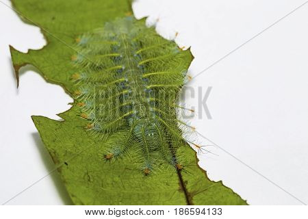 Caterpillar Of The Common Archduke Buttterfly  ( Lexias Pardalis Jadeitina ) On Leaf