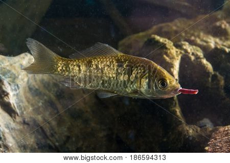 Prussian carp Carassius gibelio fish swallow worm