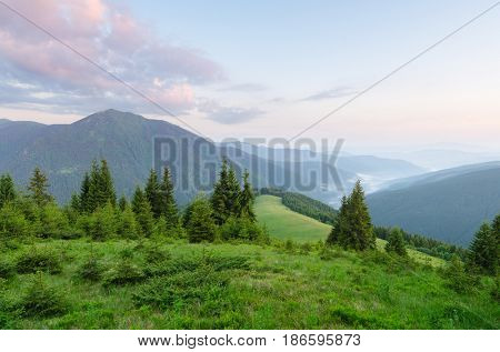 Summer landscape on a sunny morning. Spruce forest in the mountains. Green grass in the meadow. Beauty in nature. Carpathians, Ukraine, Europe