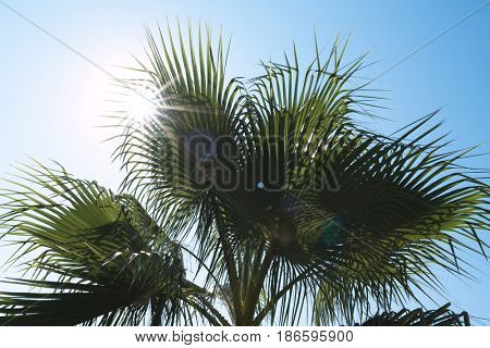 Branches of a palm tree against a clear blue sky and sun. Sunny day at the seaside resort