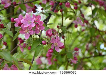 Crabapple Flowers Pink