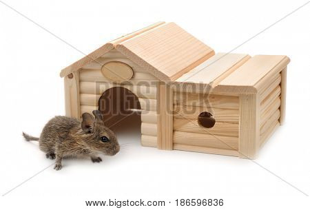 Degu beside small wooden pet house isolated on white