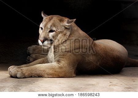 The lying puma against a dark background. The puma quietly lies on a stone having turned the head. Vertical shot
