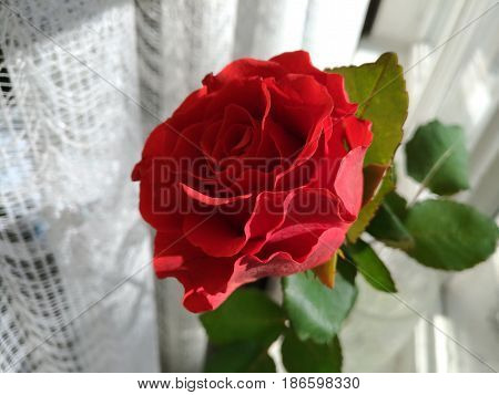 Red rose in glass on windowsill. Single fresh red flower with green leaves. Beautiful red rose in a glass jar stand on windowstill.