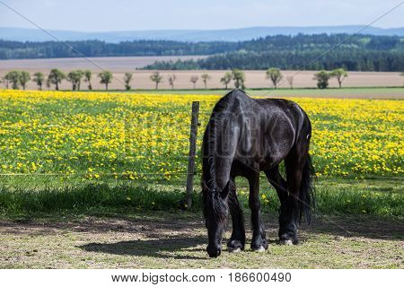 Frisian horse at spring meadow with dandelion flowers
