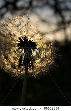 Magic round fluffy dandelion sheltered by a small bug in the sunlight in the backlight