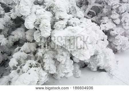 Pine needles covered in snow in January in Wasserkuppe, Germany