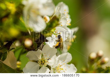 Close up of bee full with pollen from cherry flowers