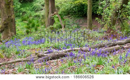 British woodland with fallen trees and bluebells