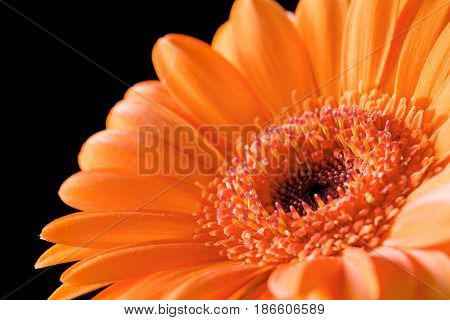 Close up bright orange gerbera flower on black