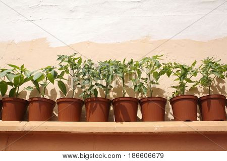 young shoots of tomatoes and peppers in pots
